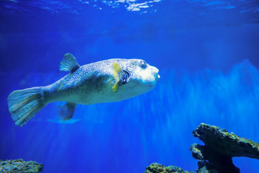 pesca de baiacu
