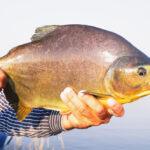 pesca de pacu