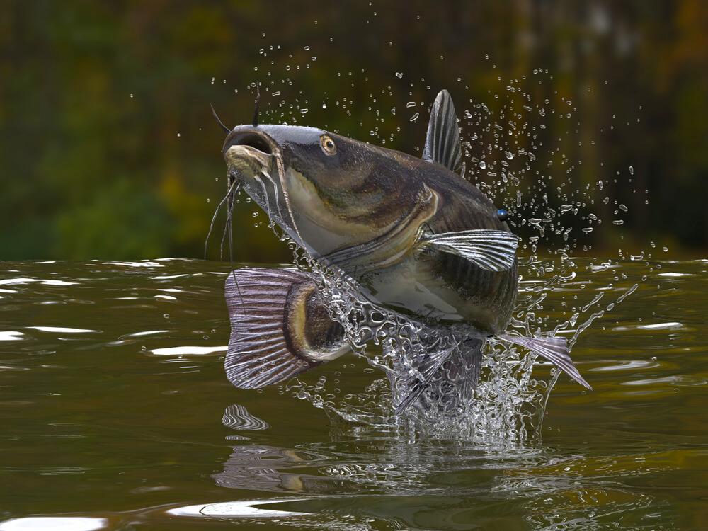 pescar bagre
