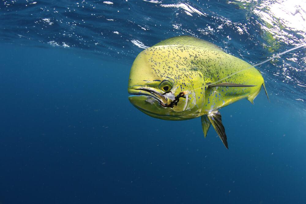 peixes de água salgada dourado