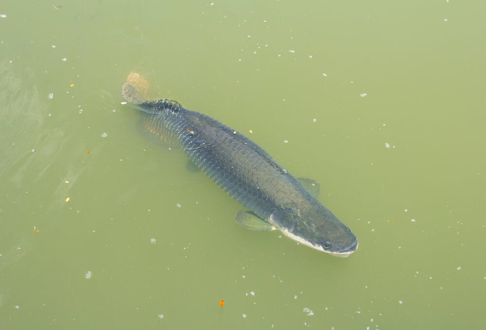 como pescar pirarucu