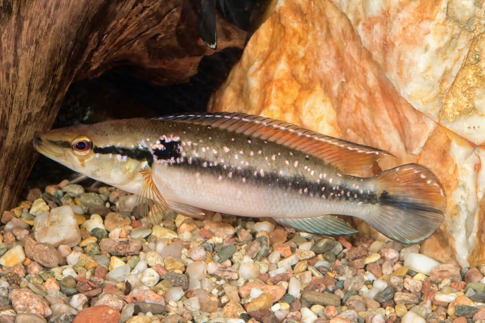 peixe jacundá conheça a especie