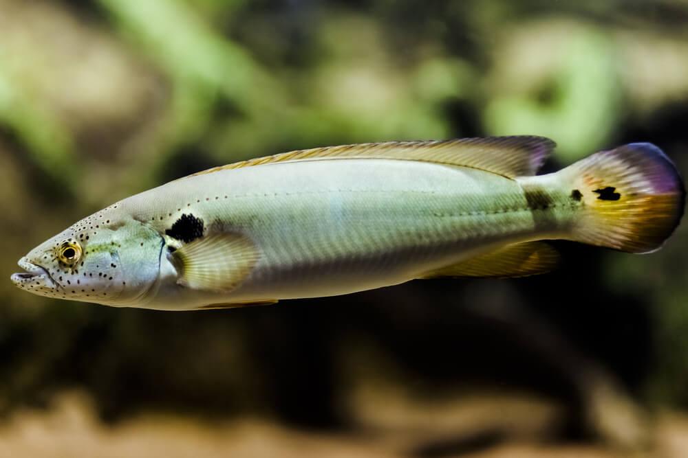 peixe jacundá